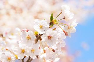 cherry-blossom_00125.jpg